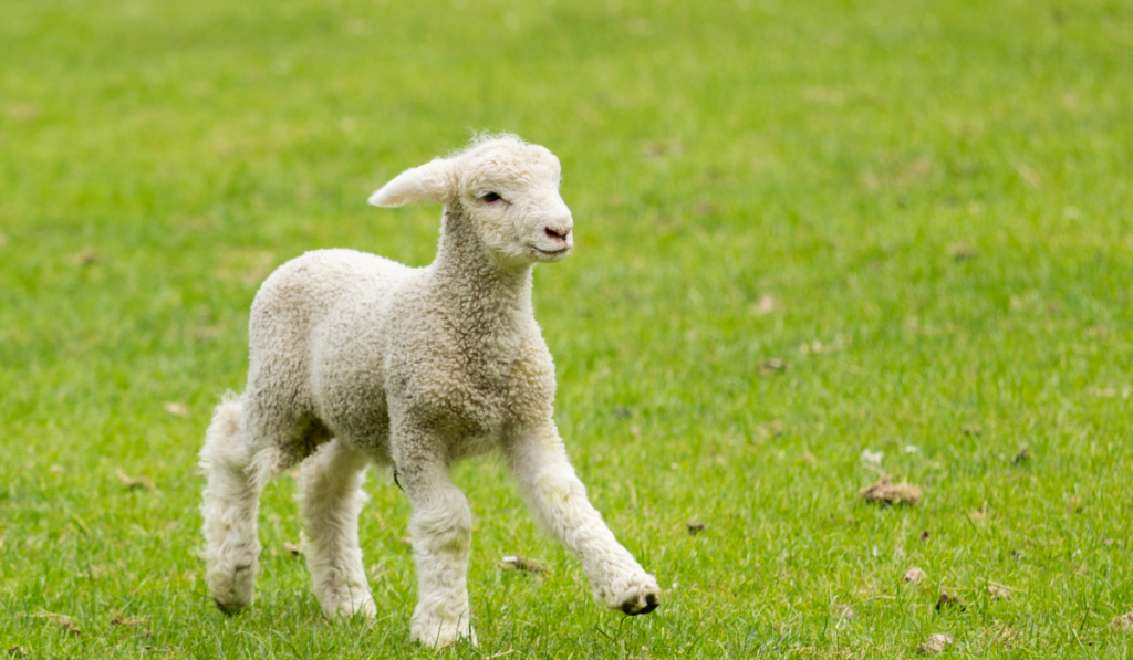 A lamb running in the field
