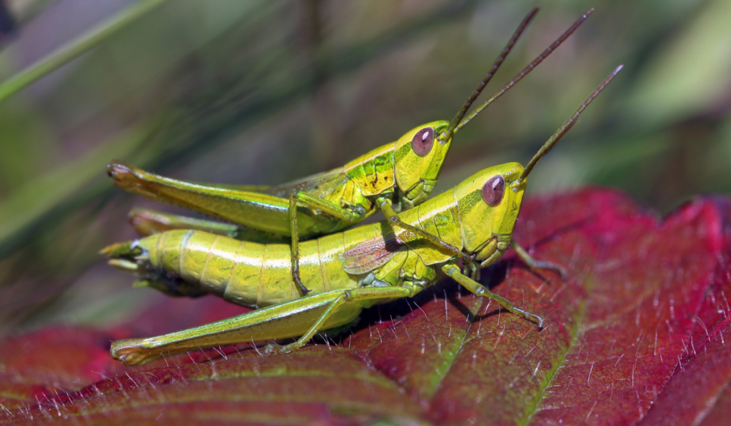 Two grasshoppers mating on the red leaf