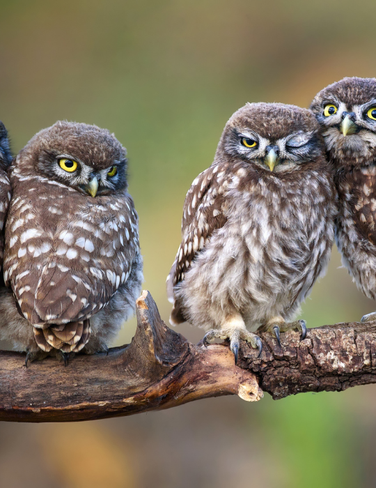 owls on a tree branch